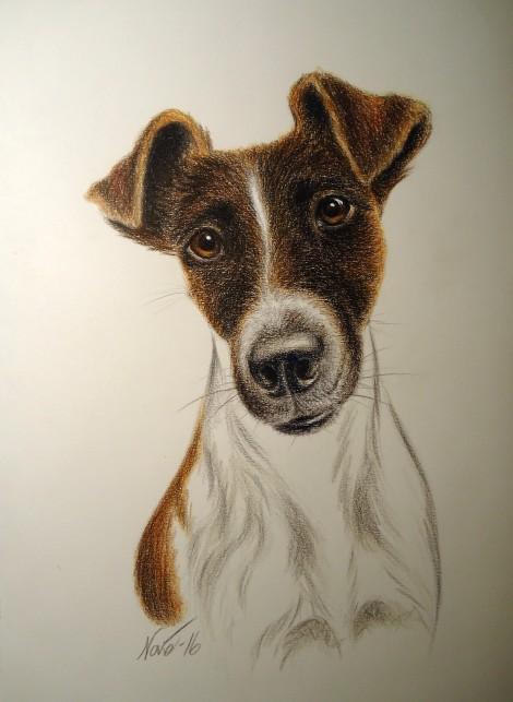 Portrett, glatthåret fox terrier. Fargeblyant 25x36 cm.
