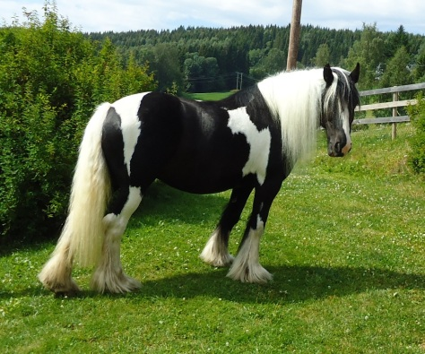 "Tinker / Irish cob hoppen ""Lady""."