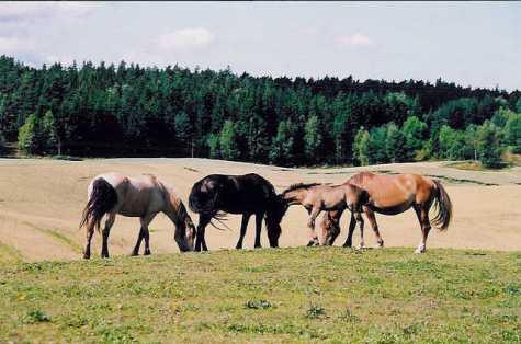 Fra venstre: Atomvinter Rosa, Tundra Frøya og Kongsrud Ida med føll 2002.