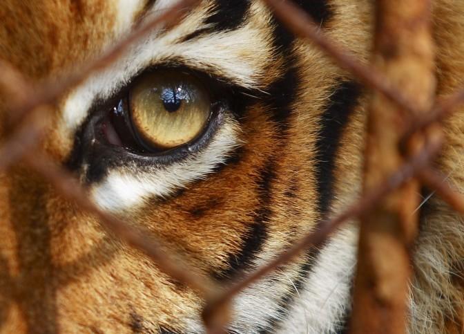 En Tiger i Bur ~ utdrag fra kapittel 10
