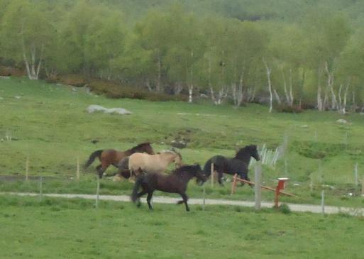 Frøya i lek med andre hester og en hund på Hjerkinn.