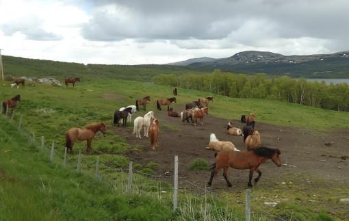 Hestene på Hjerkinn.