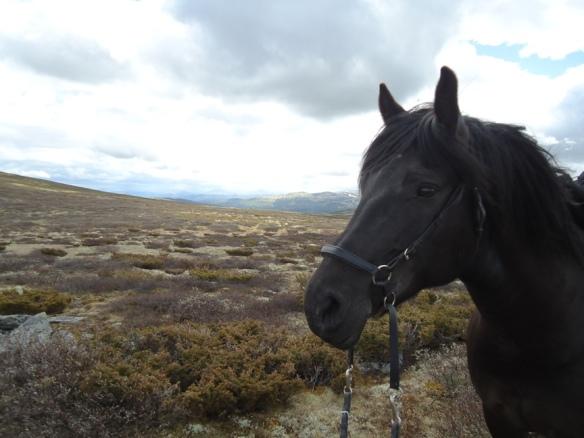 Tundra Frøya, min kloke hest på vei over Dovre mellom Hjerkinn og Kongsvoll.