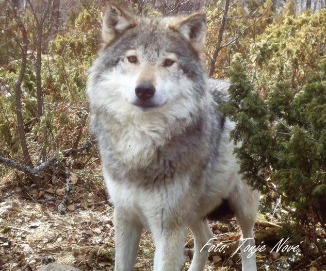 Hvorfor er vi så redd ulven?